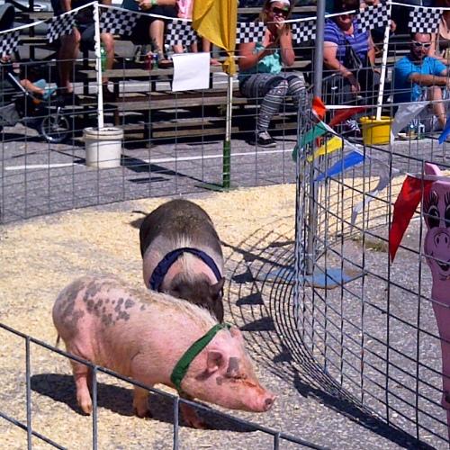 Warkworth Pig Race Photo